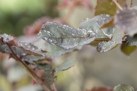 Drops of water on leaves of roses.