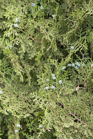Green blooms on Thuja.