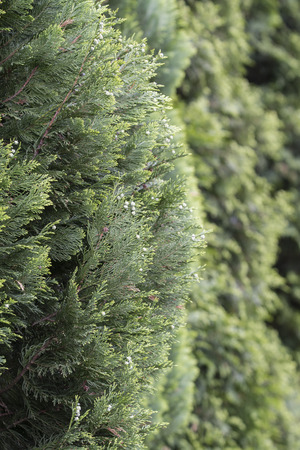 Green blooms on Thuja. Imagens - 101604946