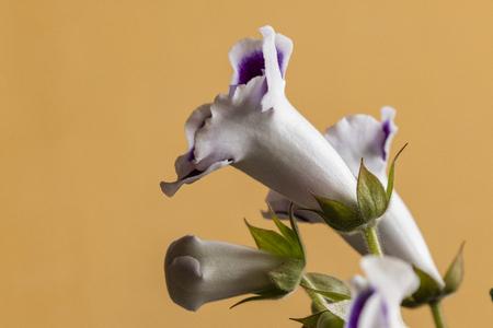 Gloxinia tubular purple flowers with a white trim. Banco de Imagens