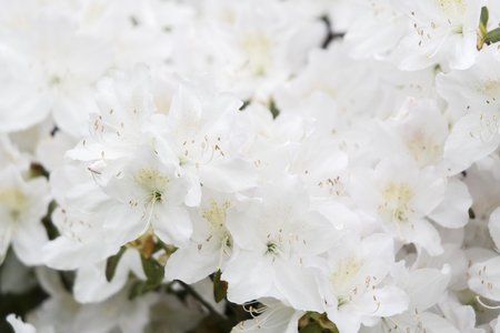 White azalea flowers on bushes. Stok Fotoğraf