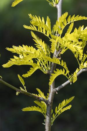 Fresh green leaves of ornamental acacia. Imagens