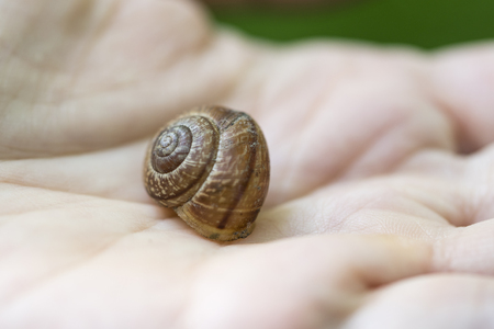 The stew of the brown snail in the palm of your hand. Stock Photo