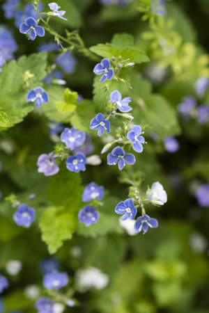 Veronica chamaedrys blue flowers with green leaves in nature. Stok Fotoğraf