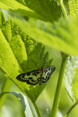 Night butterfly sitting on a nettle leaf in the shade.