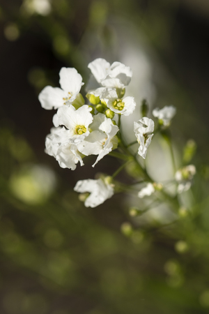 White horseradish flowers. Banco de Imagens - 102237826