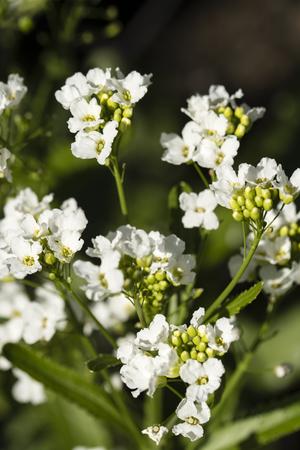 White horseradish flowers. Imagens - 102253920
