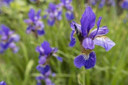 Blue flower of iris in the garden.