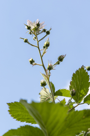 Flower of blackberry in the background with green leaves and blue sky in the background.