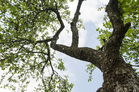 A view of the crown of the apple tree and the old bark on the trunk and the branches. Stock Photo
