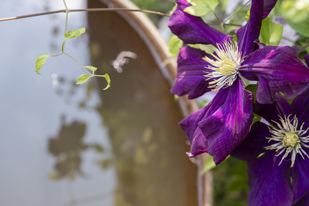 Purple flowers clematis and water level of the barrel. Stockfoto