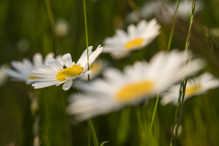 Daisy flowers on a meadow. Imagens