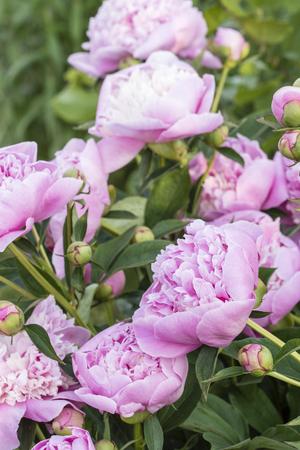 Flower of pink peony with dew. Banco de Imagens