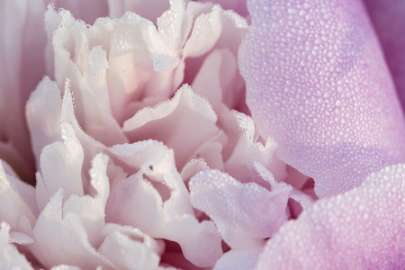 Flower of pink peony with dew. Imagens