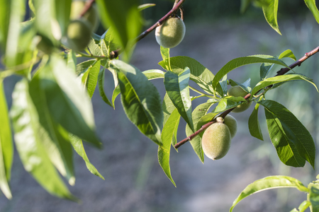 Small immature peaches with green leaves.