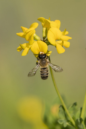 A bee pollinating a yellow flower. Imagens