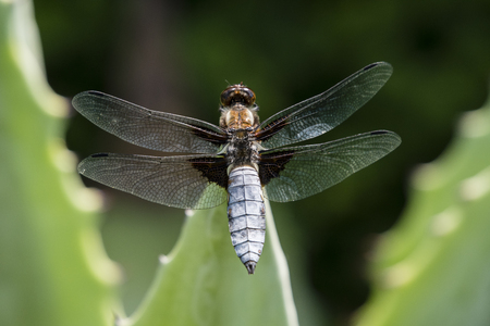 Libellula depressa - dragonfly sitting on a large aloe tree.
