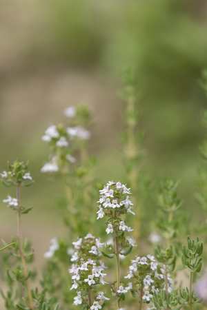 White flowers of rosemary in the garden. Imagens - 103252531