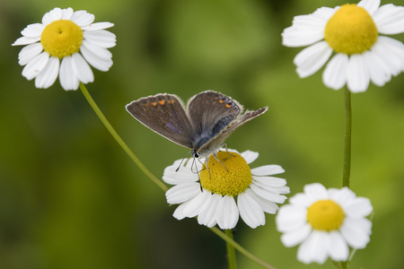 Female butterfly blue on a flower butterfly chamomile.