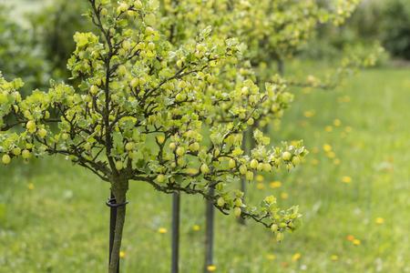Gooseberries - green berries in the garden.