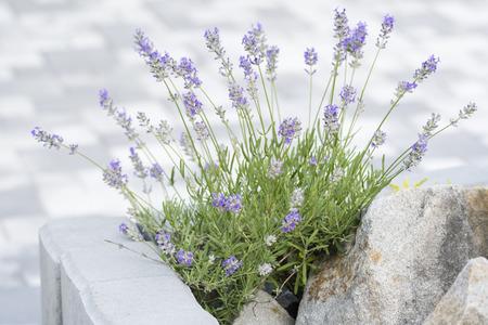 Flowering lavender in rock.