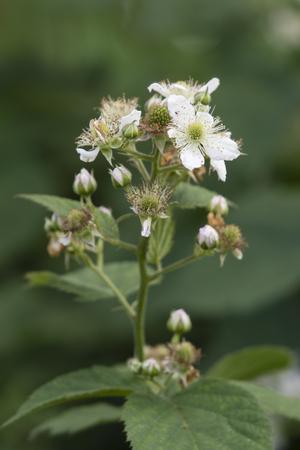 White flowers of blackberry.