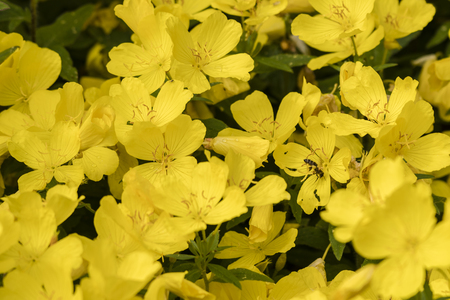 Yellow large ornamental flowers in nature and a polluting bee. 免版税图像