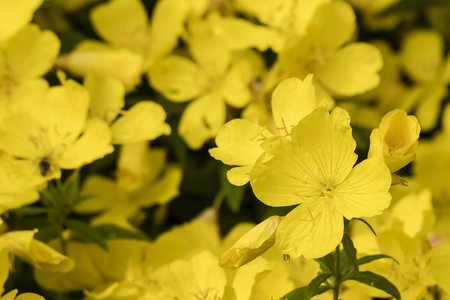Yellow large ornamental flowers in nature.