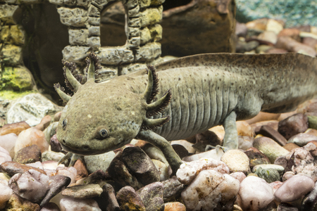 Axolotl and decoration of the church in the aquarium. Stock Photo - 103251969