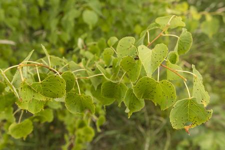 Mushroom infestation of lime leaves - black speckles.