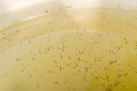 The mosquito larvae on the surface of the water. 写真素材