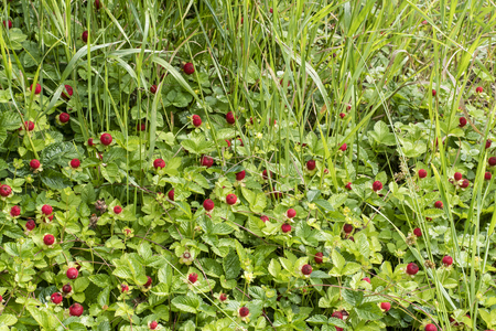 Duchesnea indicates red fruits of inedible strawberries. Banco de Imagens
