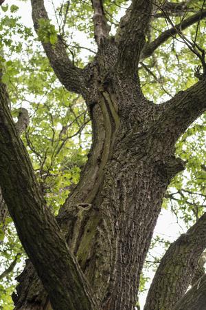 Rising crack on the oak tree.