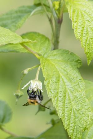 Bumblebee pollinating and raspberry flower. Фото со стока