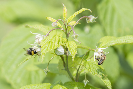 The bee and the bumblebee pollinate the raspberry flower.