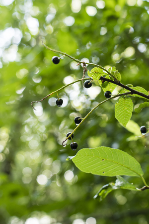 Cornus - black berries on a branch with green leaves in nature.