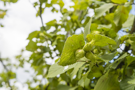 Green nuts on the tree outside.