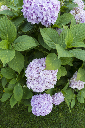 Hydrangea pink blue flowers and green leaves outdoors. Stock Photo