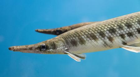 The skeleton fish.