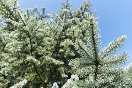 Silver ornamental spruce in detail on a needle. Banco de Imagens