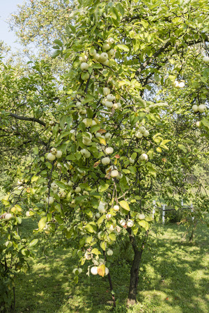 Many yellow apples on the tree. Stock fotó