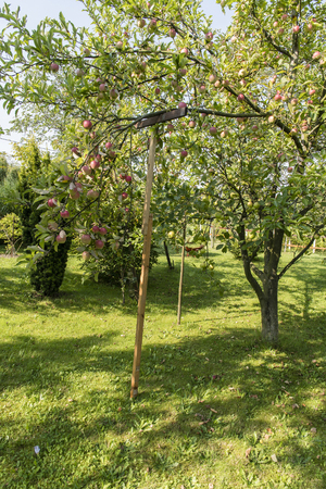 Suspended branch with red apples.
