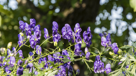 Blue flowers of a special shape on a plant. Stock Photo