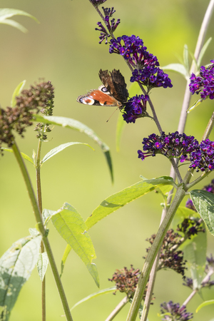 Inachis io - butterfly sitting on purple flowers.