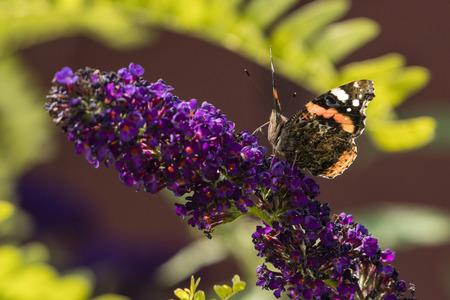 Vanessa atalant - butterfly sitting on purple flowers.