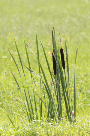 Typha - plant of wetlands with long leaves and cigar-shaped seeds. Stock Photo - 106376048