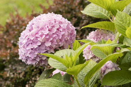 Pink flowers of hydrangea and green leaves. Imagens - 106282299