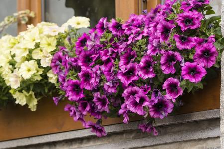 Purple ornamental flowers on a window. Banco de Imagens - 106282312