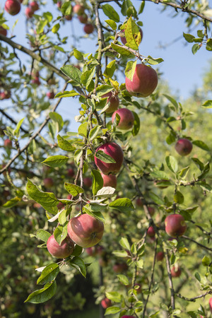 Reddish apples on a tree.