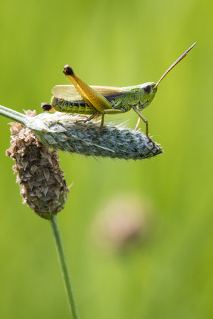 Grasshopper on grass in nature.